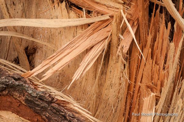 Splintered White Pine Trunk