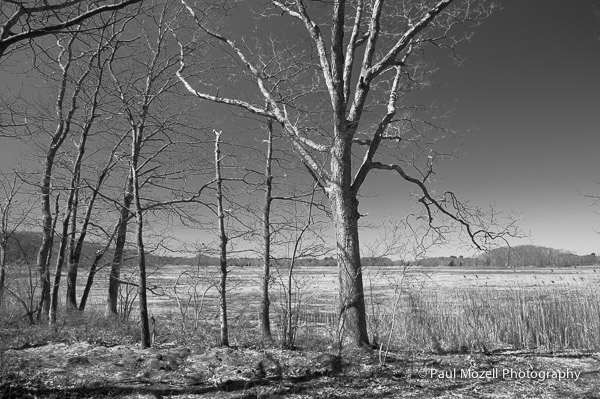 Trees in The Great Marsh