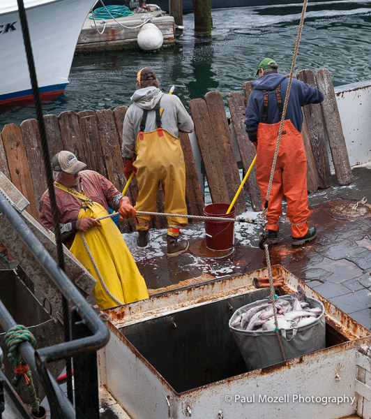 Fishermen from the trawler Teresa Marie III, docked in Gloucester, MA, off haibut from a one week voyage in the fishing grounds of the north Atlantic.