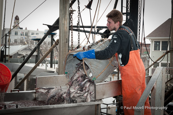 A load of halibut is transferred from a trawler to a pier in Gloucester, MA