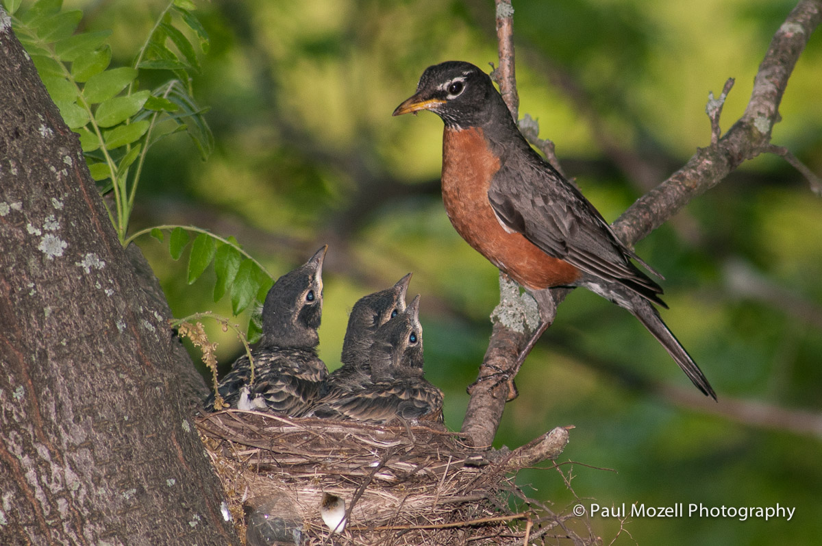 A mother robin pauses after feeding her chicks in the nest.