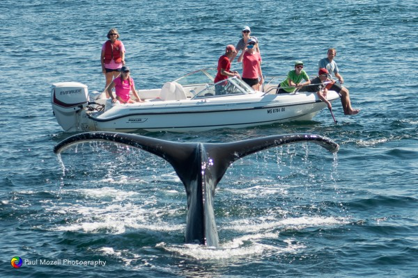 Too close for comfort! Humpback whale sends a greeting to a 15 footer.