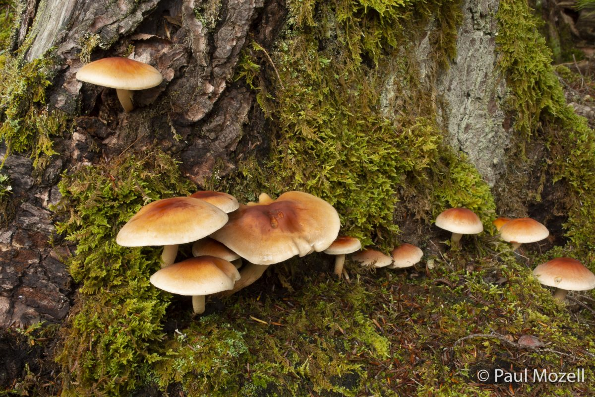 Mushrooms adorn a rotting tree stump, Bridgton, Maine